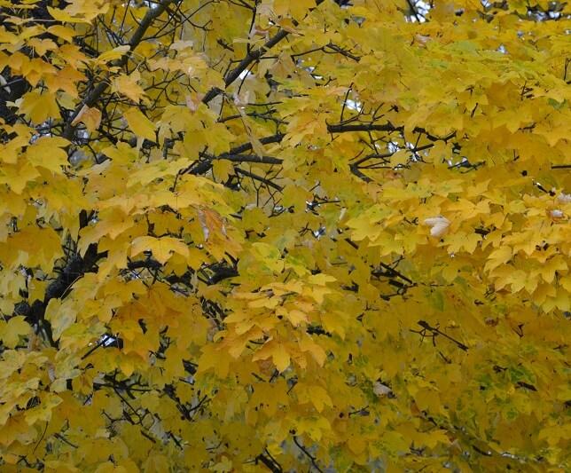 Feuillage automne érable