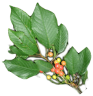 merisier feuilles
